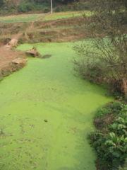 180px-river_algae_sichuan