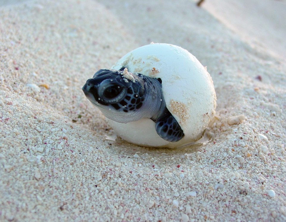 turtles hatching Not all hatchling releases are public, and hatchling releases do not occur daily or on a regular schedule because we cannot predict exactly when a sea turtle nest will hatch like all babies, the hatchlings decide when they are ready.