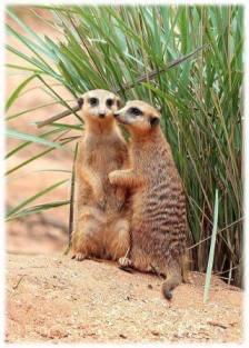 Resident meerkat's Jasper and Kiki photo credit: Brevard Zoo