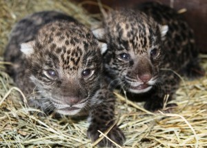 Pair of jaguar cubs born at the Brevard Zoo. photo credit: Brevard Zoo